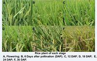 http://gigadb.org/images/data/cropped/100063_RicePlant.jpg