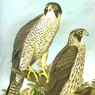 http://gigadb.org/images/data/cropped/101006_Peregrine.png