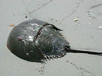 http://gigadb.org/images/data/cropped/Horseshoe_crab_close_up_photography_of_arthropod.jpg