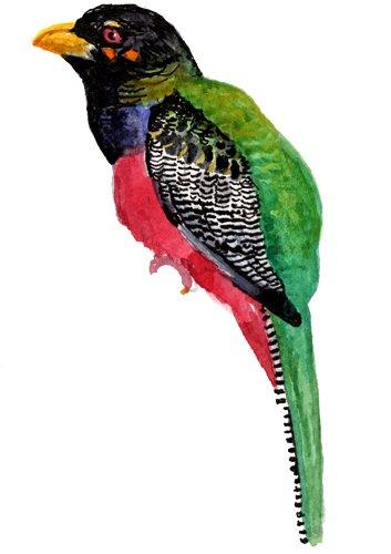 http://gigadb.org/images/data/cropped/bird/apaloderma_vittatum.png