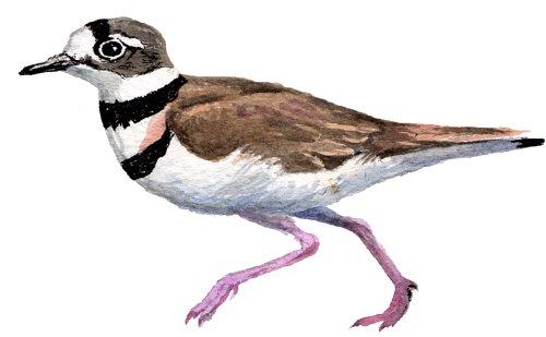http://gigadb.org/images/data/cropped/bird/charadrius_vociferus.png