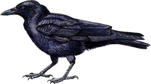 http://gigadb.org/images/data/cropped/bird/corvus_brachyrhynchos.png