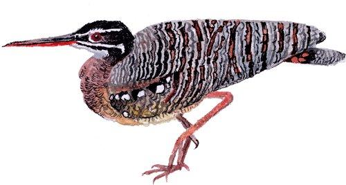 http://gigadb.org/images/data/cropped/bird/eurypyga_helias.png