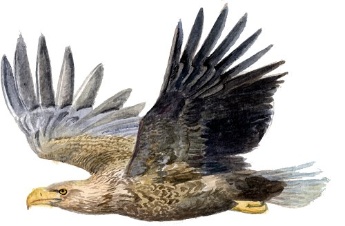 http://gigadb.org/images/data/cropped/bird/haliaeetus_albicilla.png