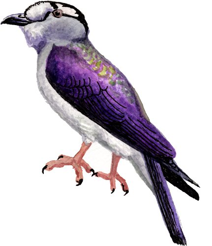 http://gigadb.org/images/data/cropped/bird/leptosomus_discolor.png