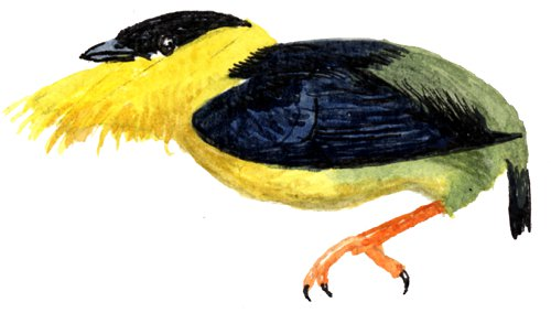 http://gigadb.org/images/data/cropped/bird/manacus_vitellinus.png