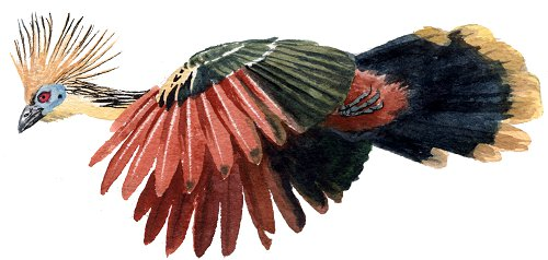 http://gigadb.org/images/data/cropped/bird/opisthocomus_hoazin.png