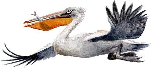 http://gigadb.org/images/data/cropped/bird/pelecanus_crispus.png