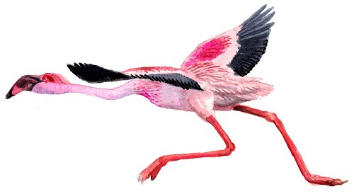 http://gigadb.org/images/data/cropped/bird/phoenicopterus_ruber.png