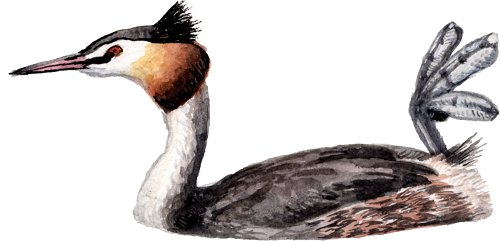 http://gigadb.org/images/data/cropped/bird/podiceps_cristatus.png