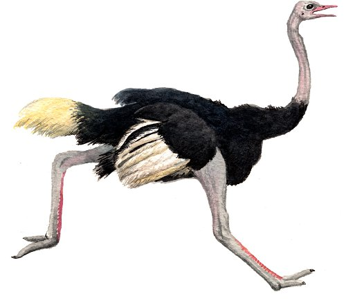 http://gigadb.org/images/data/cropped/bird/struthio_camelus.png