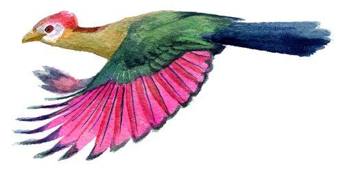 http://gigadb.org/images/data/cropped/bird/tauraco_erythrolophus.png