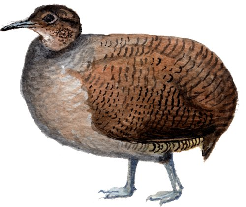 http://gigadb.org/images/data/cropped/bird/tinamus_major.png