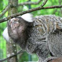 http://gigadb.org/images/data/cropped/marmoset.jpg